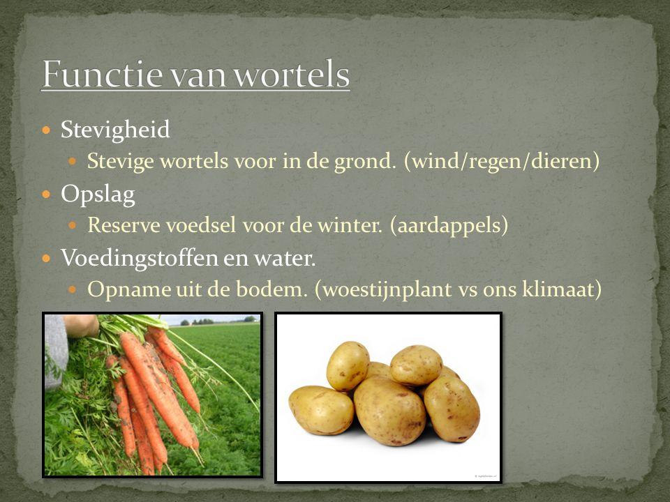 Functie van wortels Stevigheid Opslag Voedingstoffen en water.