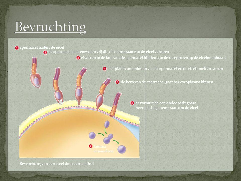 Bevruchting spermacel nadert de eicel