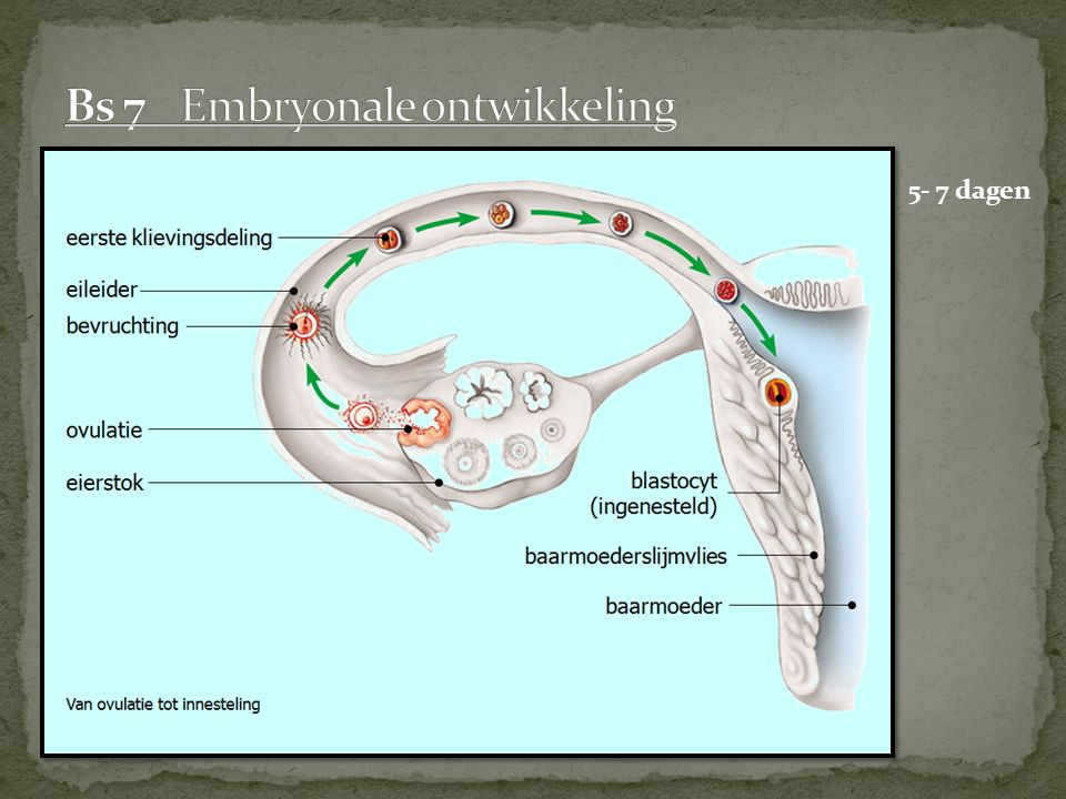 Bs 7 Embryonale ontwikkeling