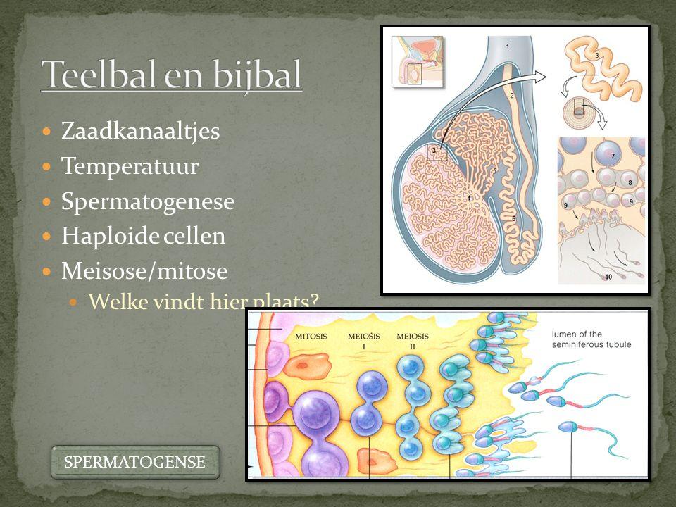 Teelbal en bijbal Zaadkanaaltjes Temperatuur Spermatogenese