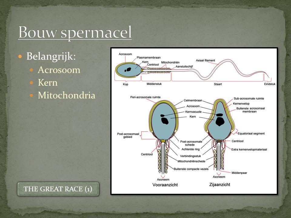 Bouw spermacel Belangrijk: Acrosoom Kern Mitochondria