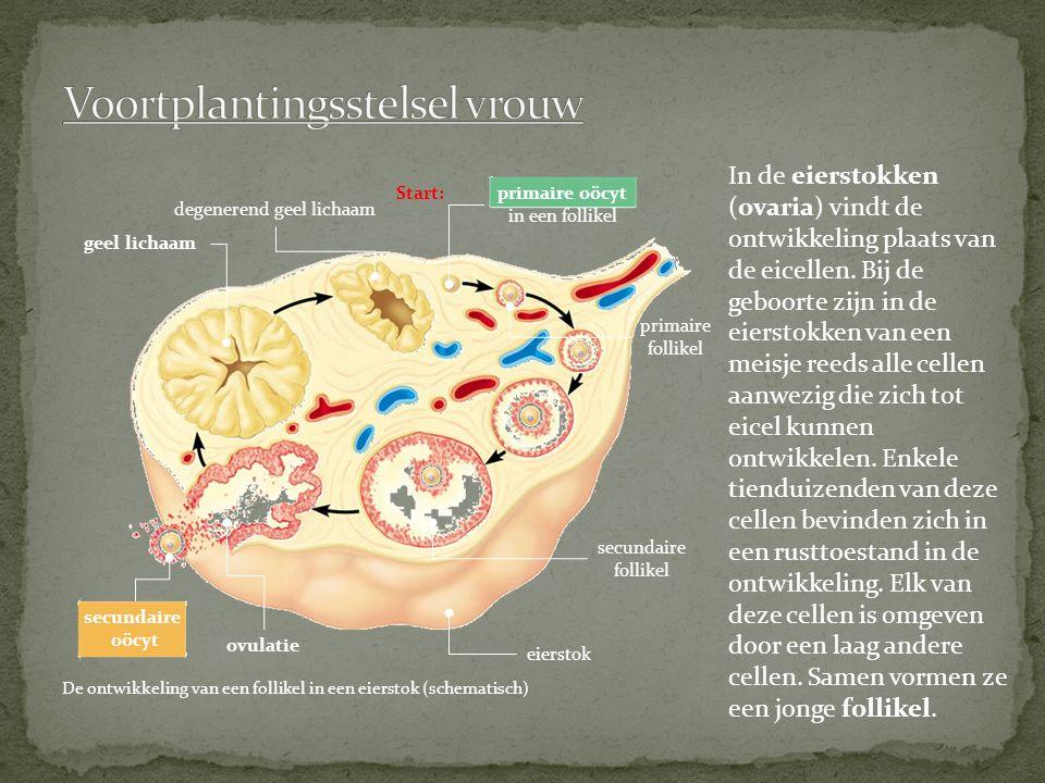 Voortplantingsstelsel vrouw