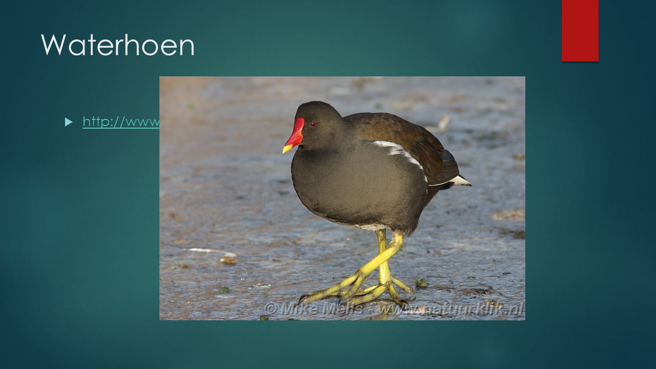 Waterhoen http://www.vogelgeluid.nl/waterhoen