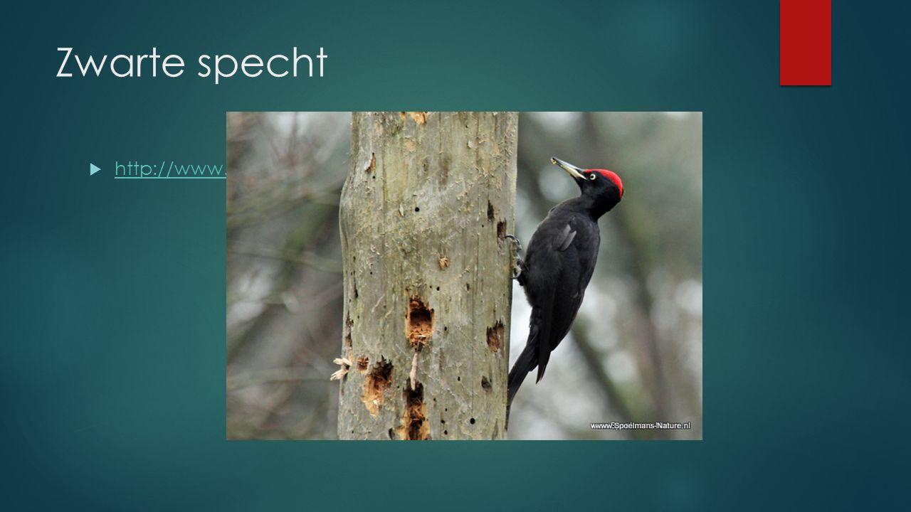 Zwarte specht http://www.vogelgeluid.nl/zwarte-specht