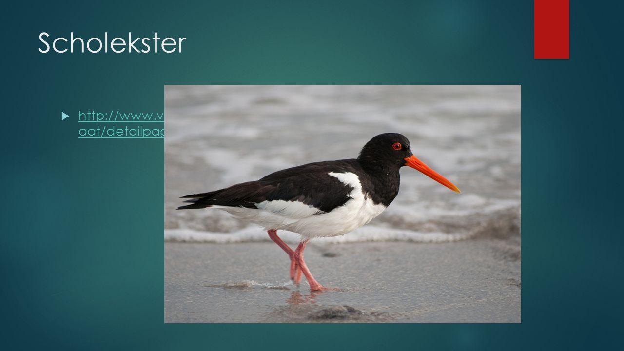 Scholekster http://www.vogelbescherming.nl/vogels_kijken/vogelgids/zoekresult aat/detailpagina/q/vogel/196.