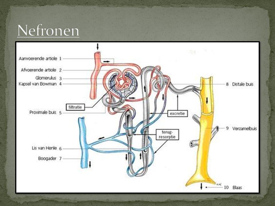 Nefronen