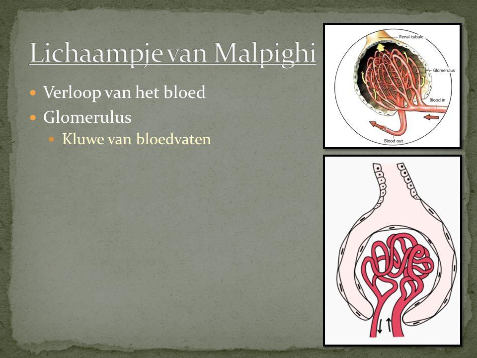 Lichaampje van Malpighi