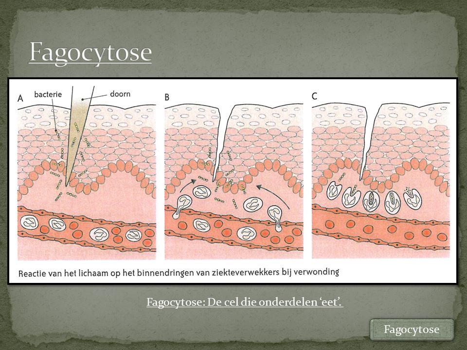 Fagocytose Fagocytose: De cel die onderdelen 'eet'. Fagocytose