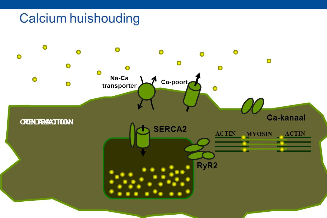 Calcium huishouding Ca-kanaal SERCA2 RyR2 CONTRACTION RELAXATION Na-Ca