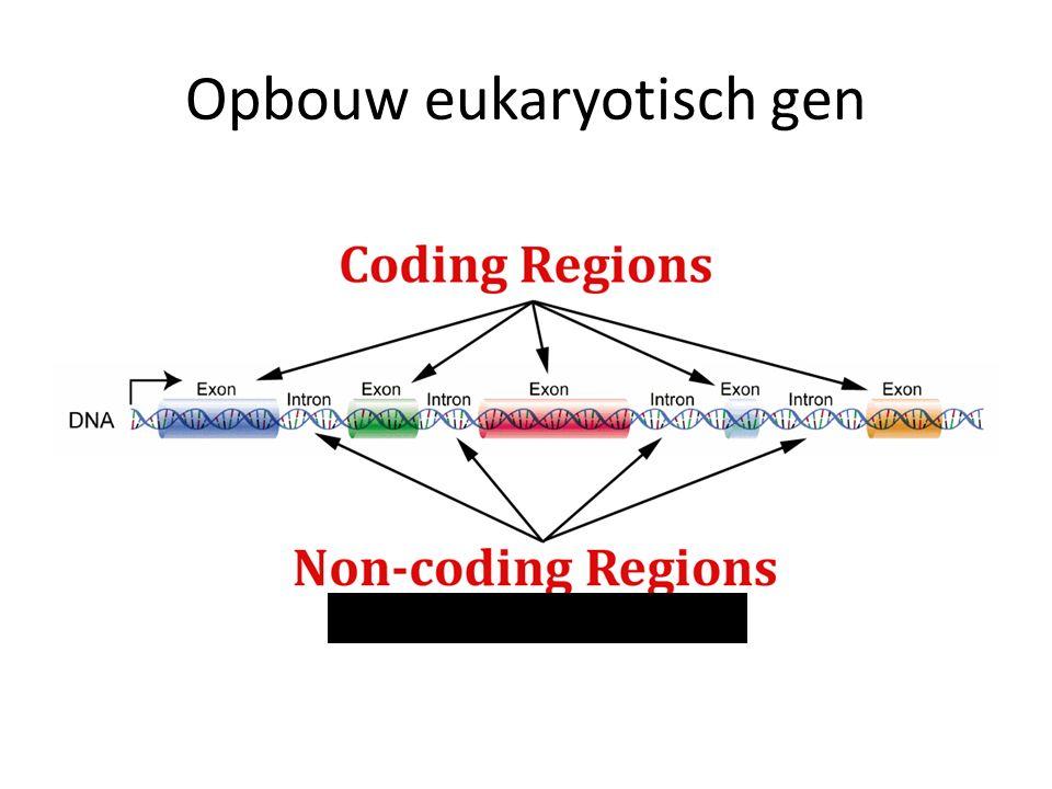 Opbouw eukaryotisch gen