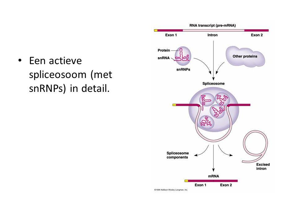 Een actieve spliceosoom (met snRNPs) in detail.
