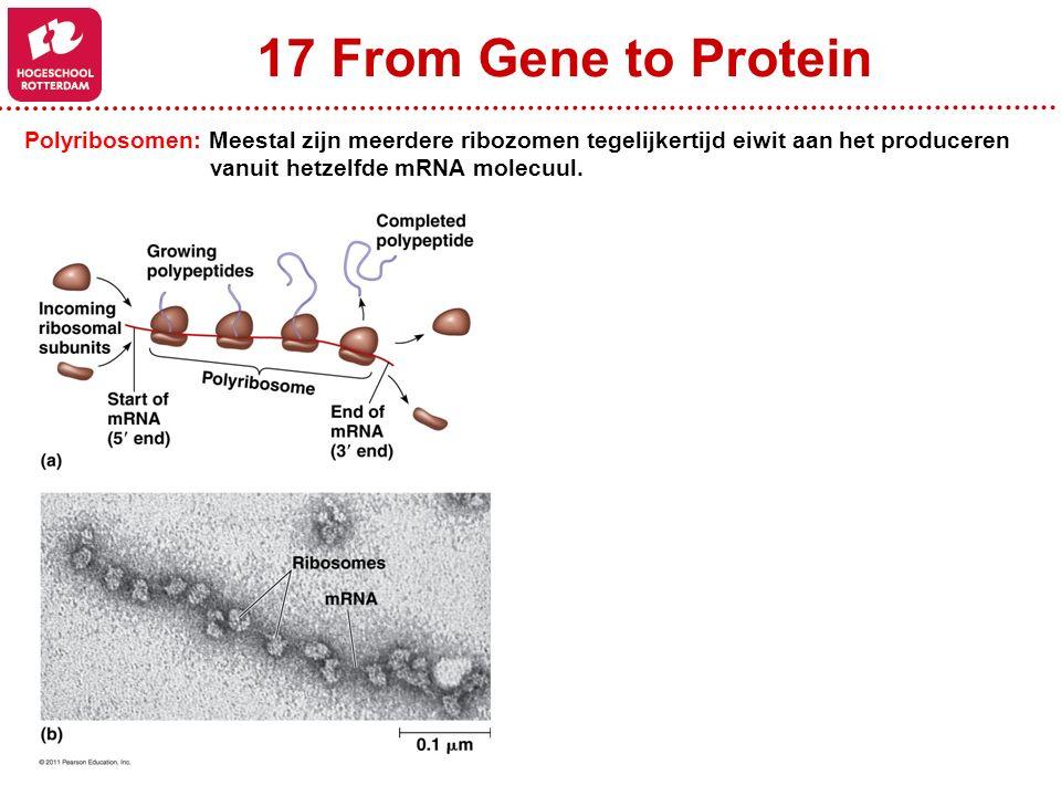 17 From Gene to Protein Polyribosomen: Meestal zijn meerdere ribozomen tegelijkertijd eiwit aan het produceren.