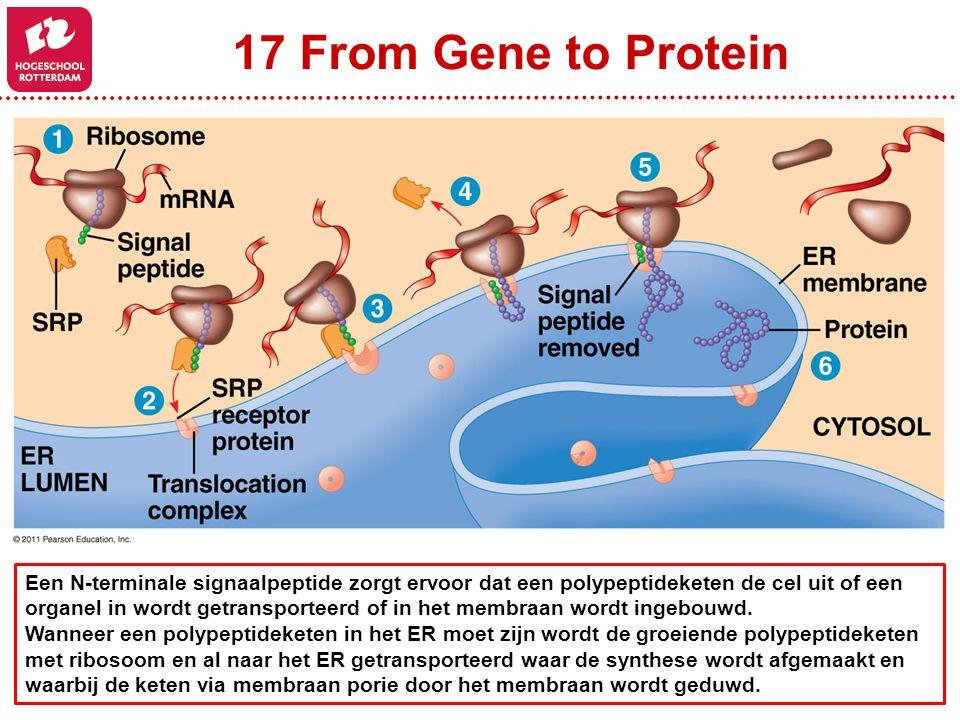17 From Gene to Protein Een N-terminale signaalpeptide zorgt ervoor dat een polypeptideketen de cel uit of een.