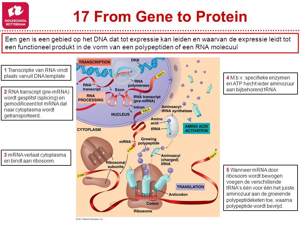 17 From Gene to Protein Een gen is een gebied op het DNA dat tot expressie kan leiden en waarvan de expressie leidt tot.