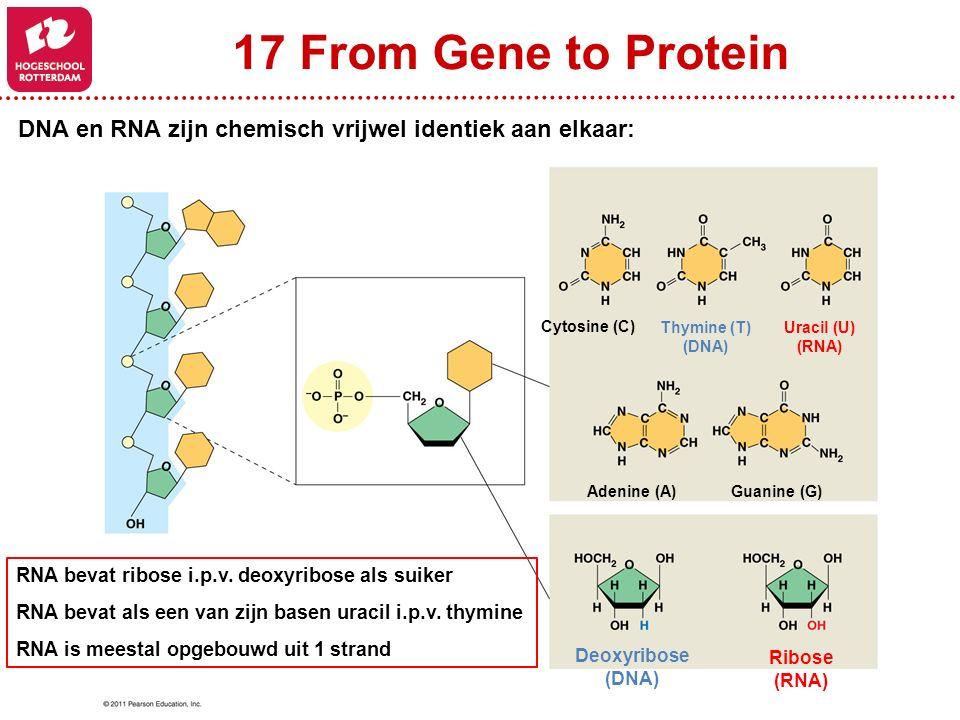 17 From Gene to Protein DNA en RNA zijn chemisch vrijwel identiek aan elkaar: Cytosine (C) Thymine (T)