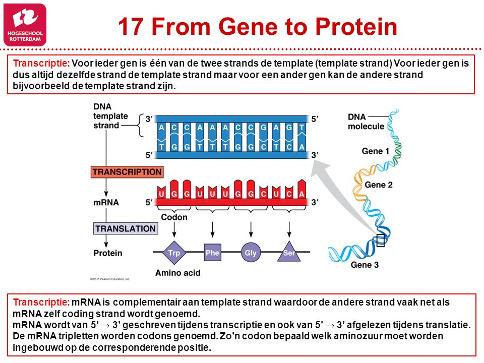17 From Gene to Protein