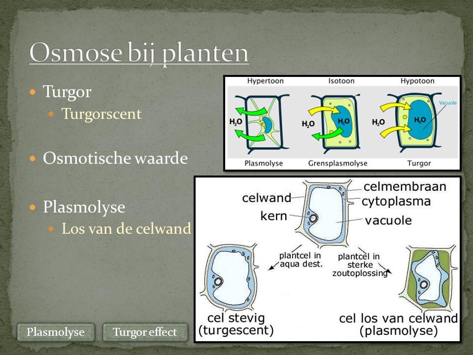 Osmose bij planten Turgor Osmotische waarde Plasmolyse Turgorscent