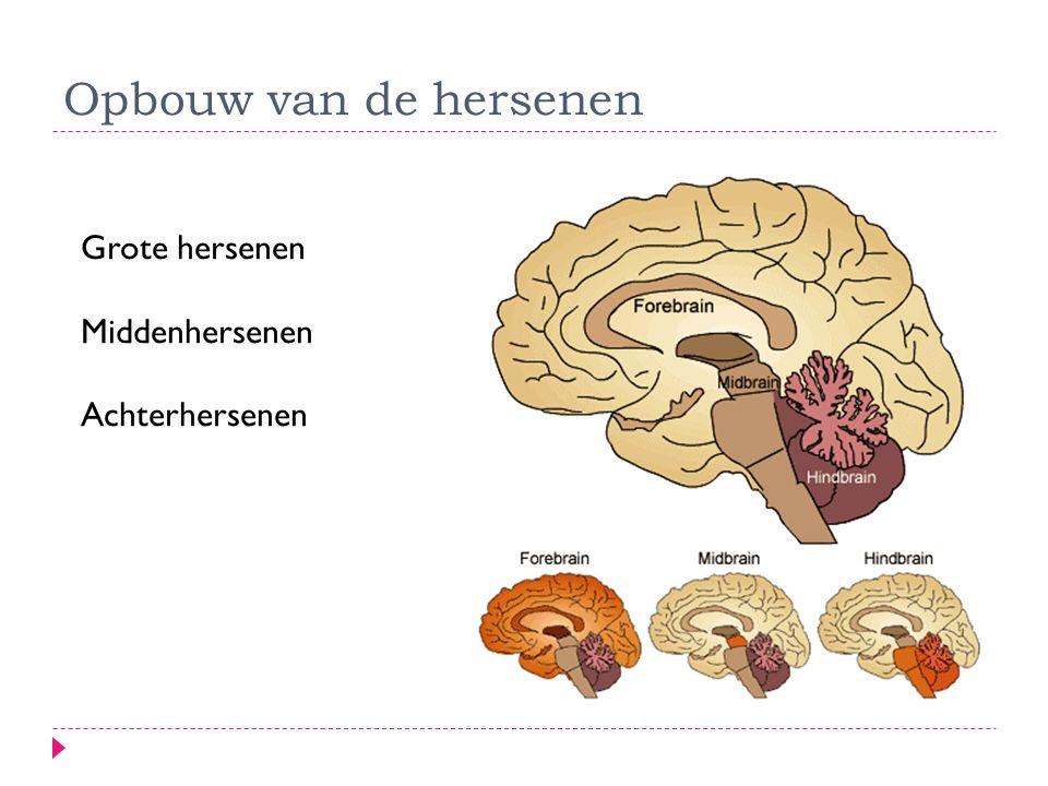 Opbouw van de hersenen Grote hersenen Middenhersenen Achterhersenen