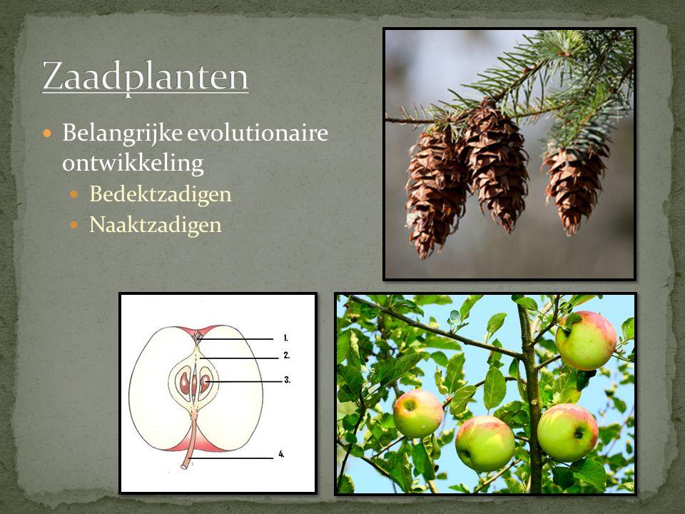 Zaadplanten Belangrijke evolutionaire ontwikkeling Bedektzadigen