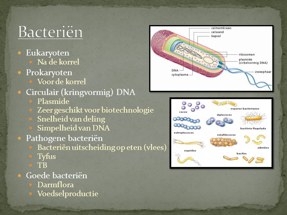 Bacteriën Eukaryoten Prokaryoten Circulair (kringvormig) DNA