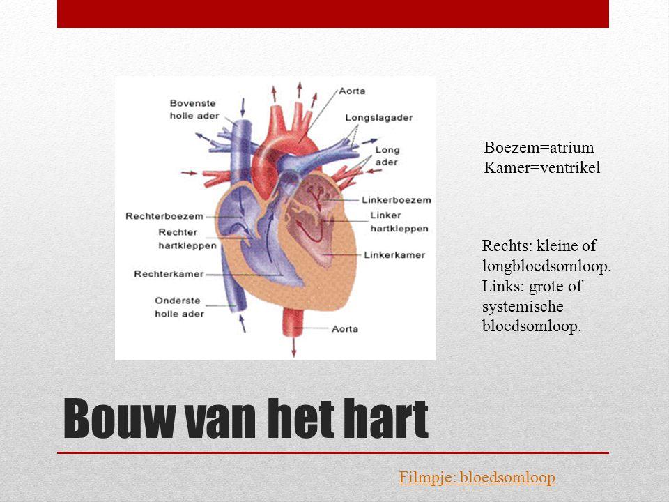 Bouw van het hart Boezem=atrium Kamer=ventrikel