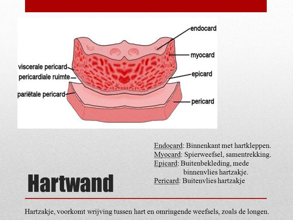 Hartwand Endocard: Binnenkant met hartkleppen.