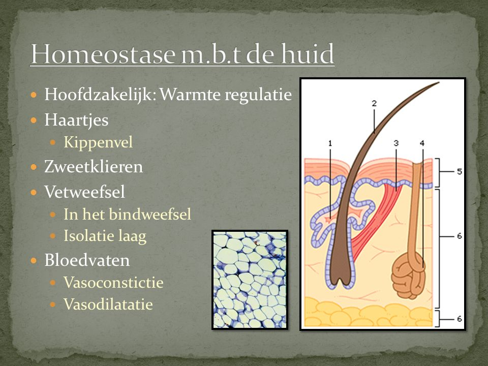 Homeostase m.b.t de huid Hoofdzakelijk: Warmte regulatie Haartjes