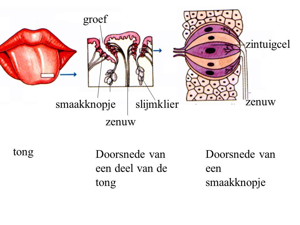 groef zintuigcel. zenuw. smaakknopje. slijmklier. zenuw. tong. Doorsnede van een deel van de tong.