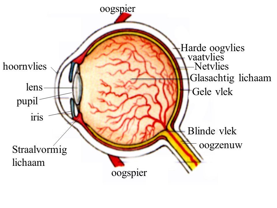 oogspier Harde oogvlies. vaatvlies. hoornvlies. Netvlies. Glasachtig lichaam. lens. Gele vlek.
