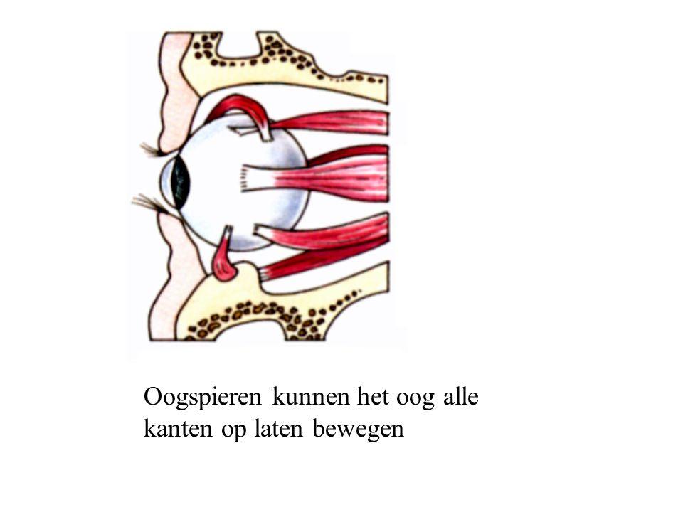 Oogspieren kunnen het oog alle kanten op laten bewegen