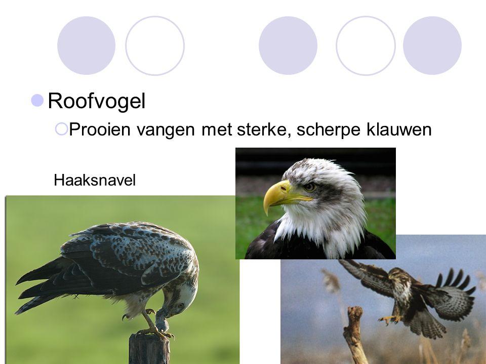 Roofvogel Prooien vangen met sterke, scherpe klauwen Haaksnavel