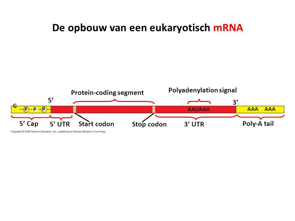De opbouw van een eukaryotisch mRNA