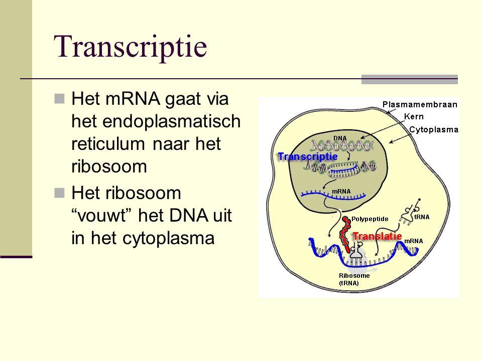 Transcriptie Het mRNA gaat via het endoplasmatisch reticulum naar het ribosoom.