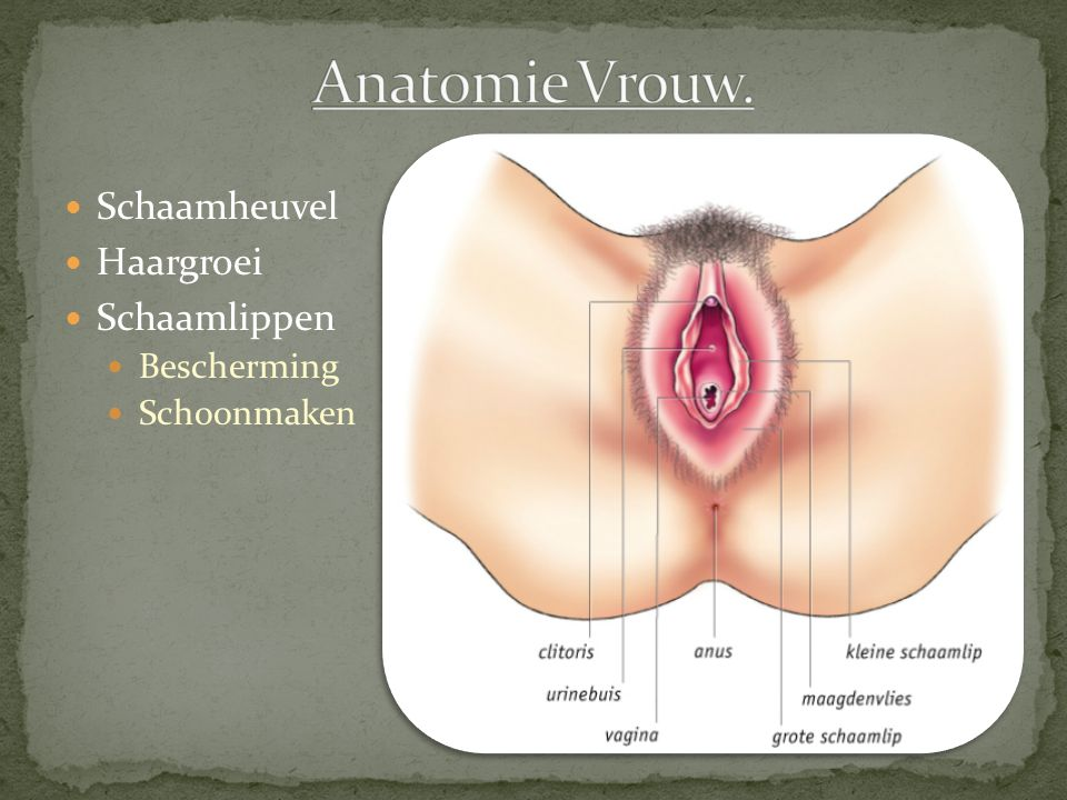 Anatomie Vrouw. Schaamheuvel Haargroei Schaamlippen Bescherming