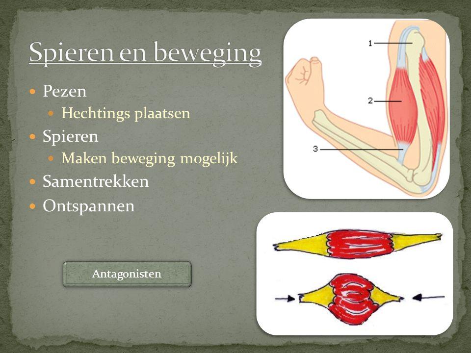 Spieren en beweging Pezen Spieren Samentrekken Ontspannen