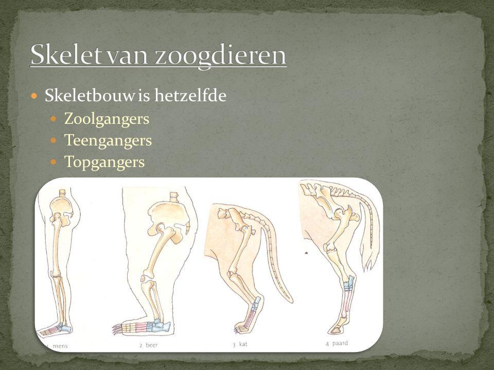 Skelet van zoogdieren Skeletbouw is hetzelfde Zoolgangers Teengangers