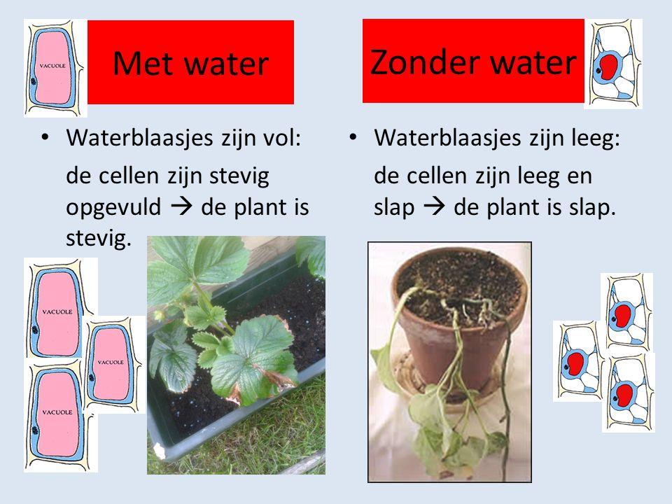 Zonder water Met water Waterblaasjes zijn vol: