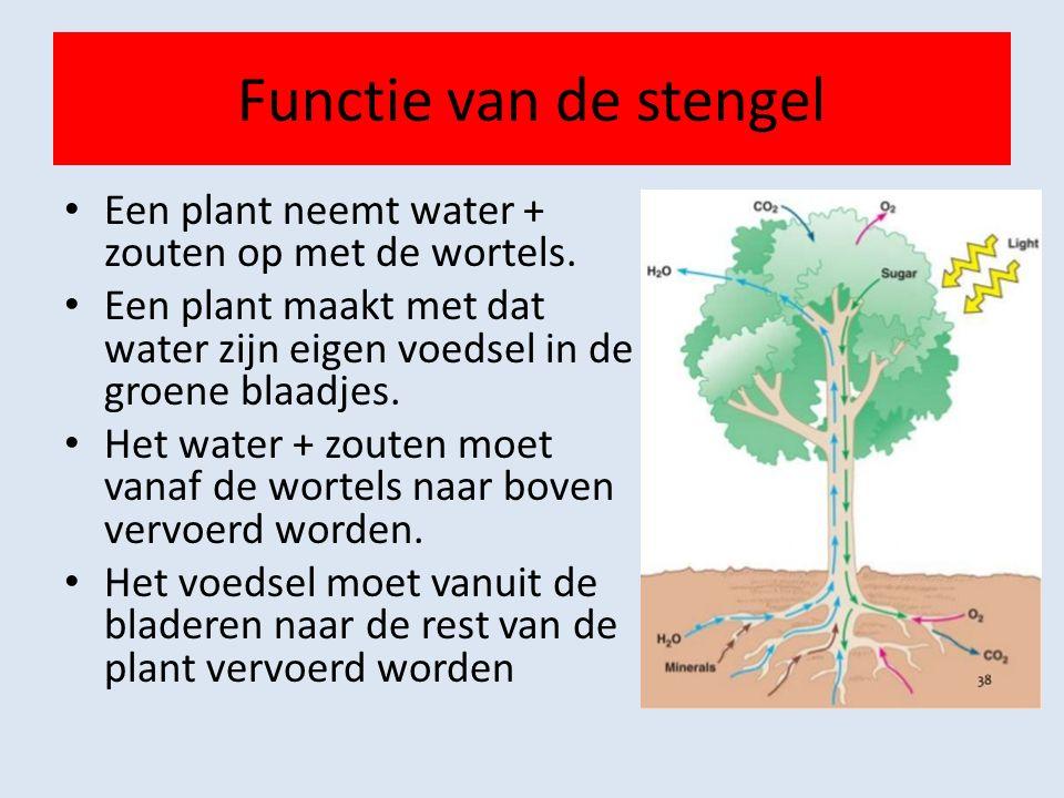 Functie van de stengel Een plant neemt water + zouten op met de wortels. Een plant maakt met dat water zijn eigen voedsel in de groene blaadjes.