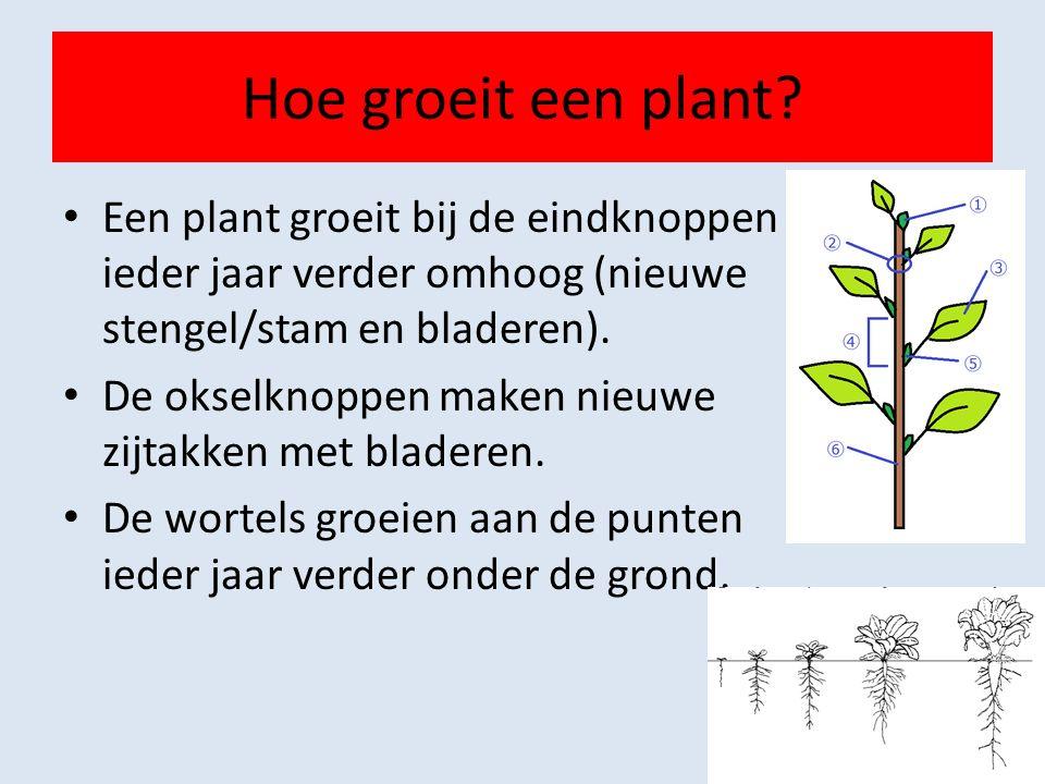 Hoe groeit een plant Een plant groeit bij de eindknoppen ieder jaar verder omhoog (nieuwe stengel/stam en bladeren).