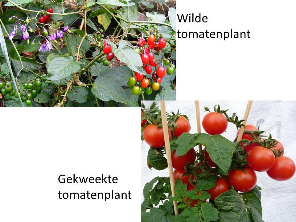 Wilde tomatenplant Gekweekte tomatenplant