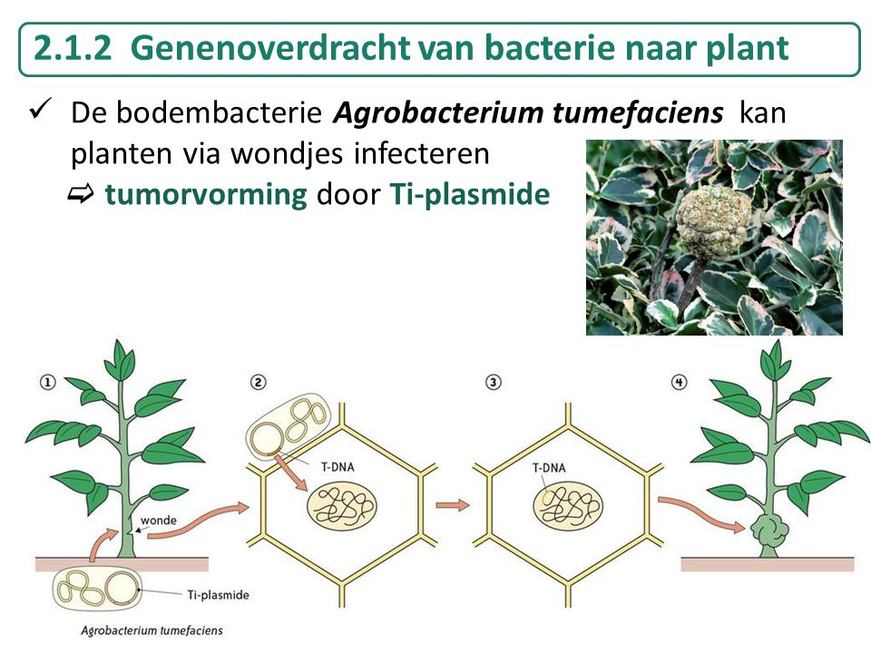 2.1.2 Genenoverdracht van bacterie naar plant