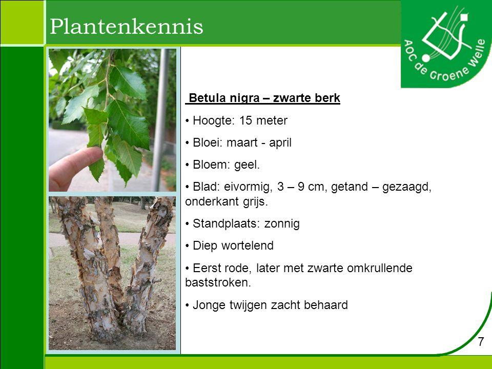 Plantenkennis Betula nigra – zwarte berk Hoogte: 15 meter