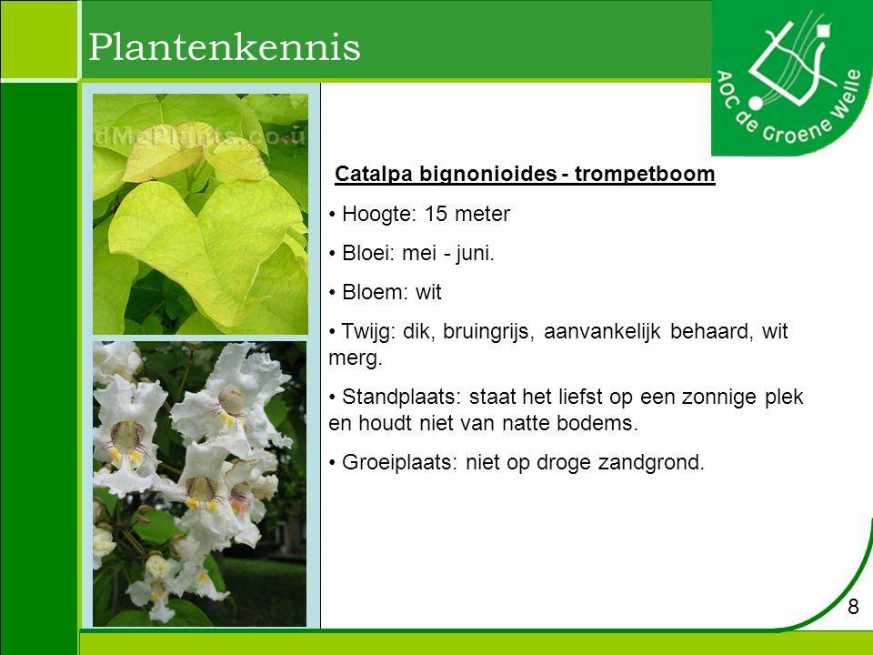 Plantenkennis Catalpa bignonioides - trompetboom Hoogte: 15 meter