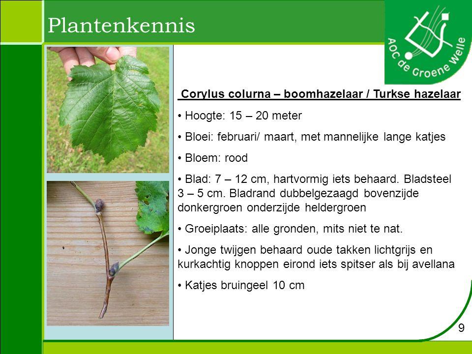 Plantenkennis Corylus colurna – boomhazelaar / Turkse hazelaar