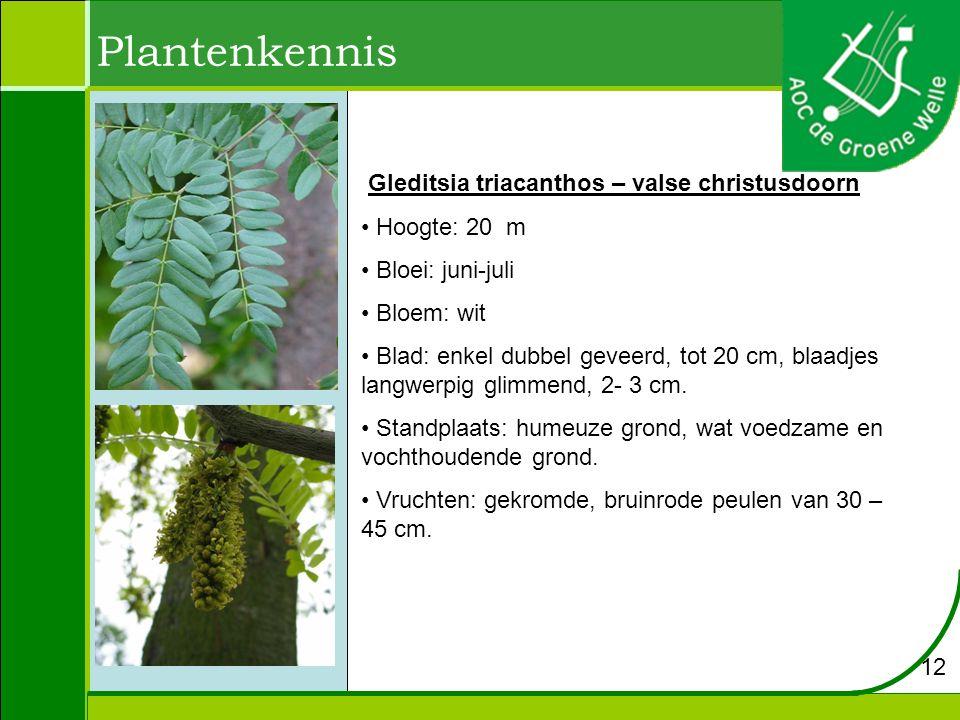 Plantenkennis Gleditsia triacanthos – valse christusdoorn Hoogte: 20 m