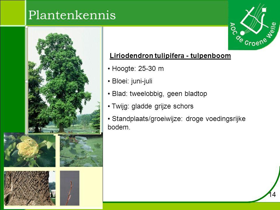 Plantenkennis Liriodendron tulipifera - tulpenboom Hoogte: 25-30 m