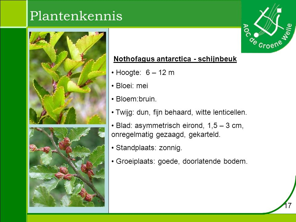 Plantenkennis Nothofagus antarctica - schijnbeuk Hoogte: 6 – 12 m