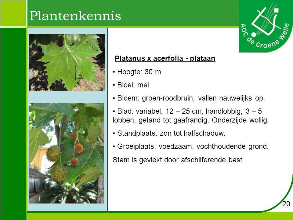 Plantenkennis Platanus x acerfolia - plataan Hoogte: 30 m Bloei: mei