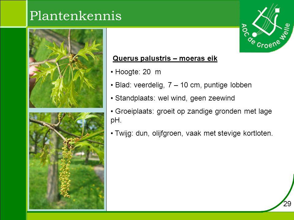 Plantenkennis Querus palustris – moeras eik Hoogte: 20 m