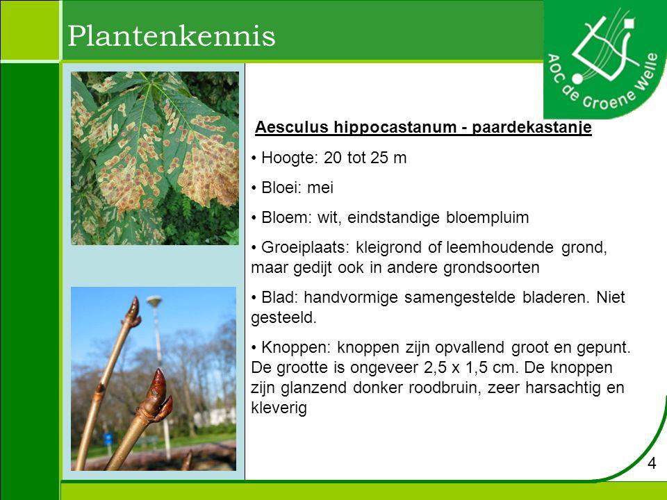 Plantenkennis Aesculus hippocastanum - paardekastanje
